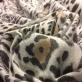 Ткань шерстяная костюмно-пальтовая Roberto Cavalli мягкая с леопардовым рисунком